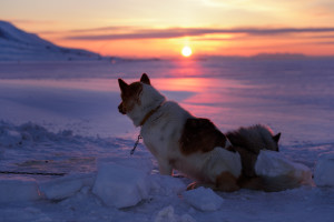 Schlittenhunde in Longyearbyen