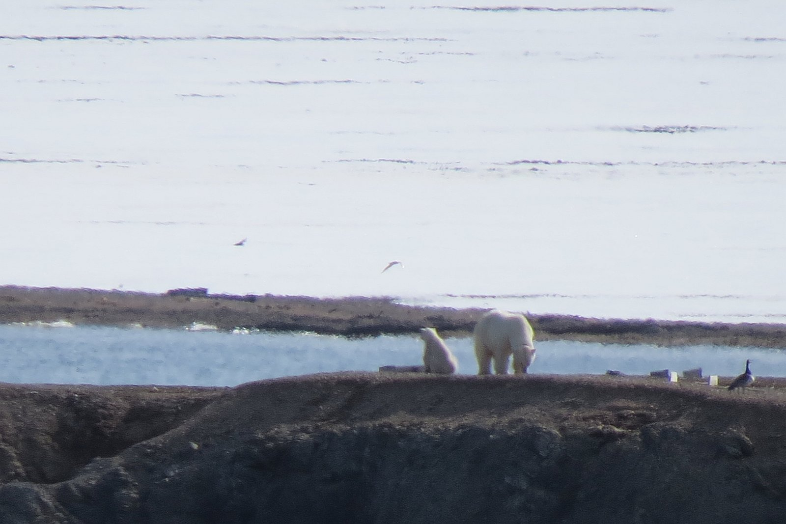 Eisbärenmutter mit Jungem (Foto: Marie Dankworth und Lydia Messingfeld)
