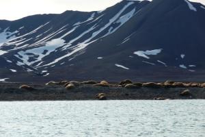 Walroose baden sich in der Sonne auf Prins Karls Forland.
