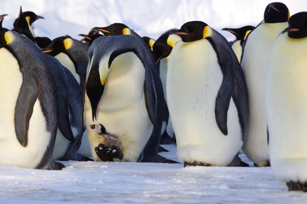 Eines der unzähligen ungezählten Pinguinküken. Aus (für die Tiere) sicherer Entfernung mit dem Teleobjektiv fotografiert. (Foto: Tim Heitland)