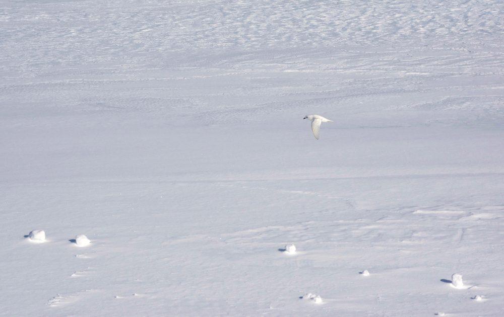 Man muß nur genau hinsehen. Ein Schneesturmvogel über der Atka Bucht. Foto: Tim Heitland