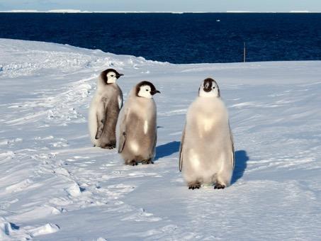 Kaiserpinguinjungtiere auf dem Schelfeis im Januar 2018. Foto: Bernhard Gropp