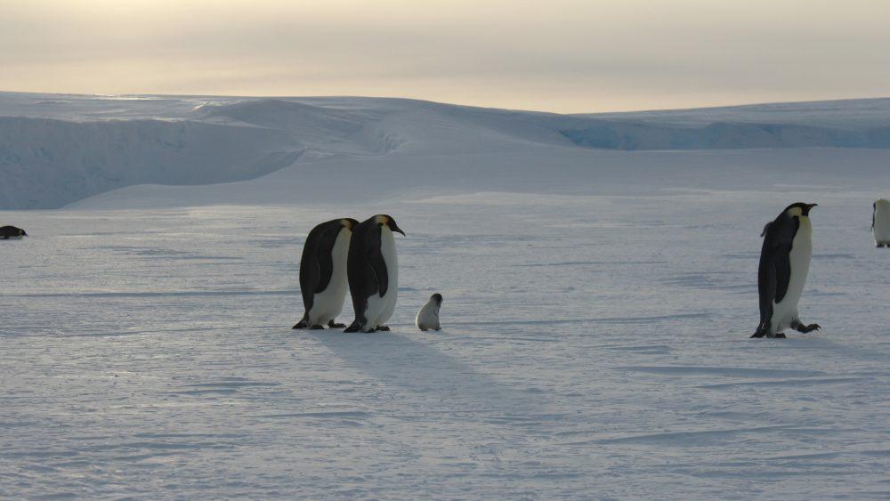 Pinguin-Küken (Foto: Bernhard Gropp, aus der Ferne aufgenommen mit einem Teleobjekt)