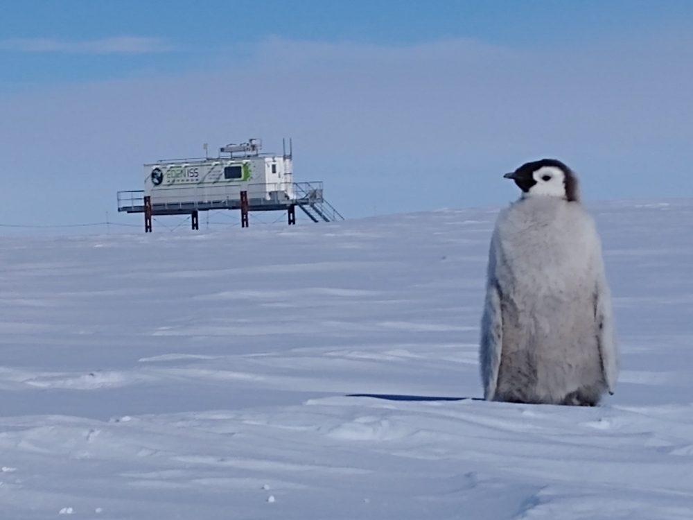 Pinguinküken bei Gewächshaus EDEN-