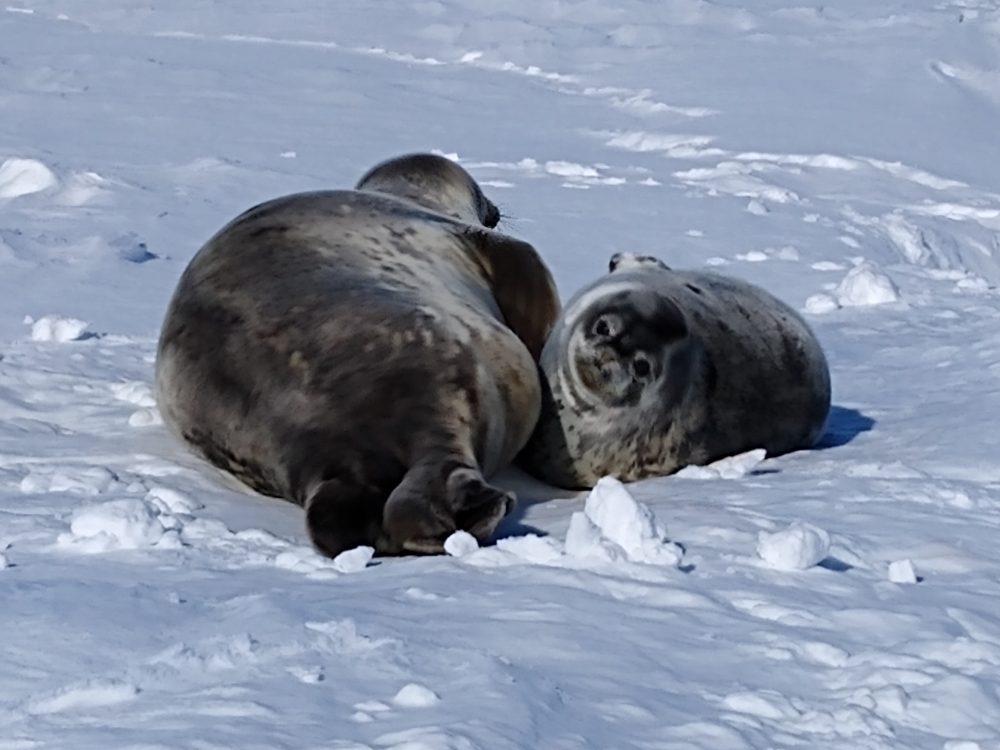 Robbenkleinfamilie auf dem Eis.