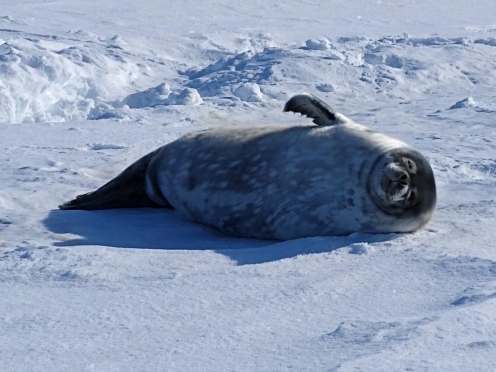 Robbenjunges auf Schnee