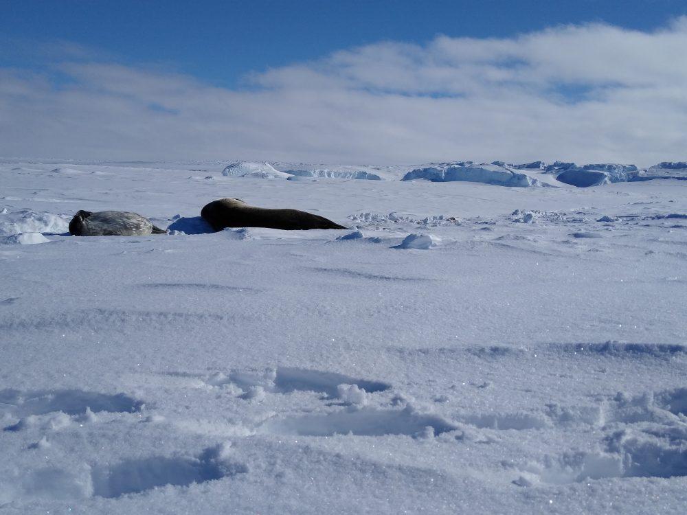 Robben auf einem Schneefeld.