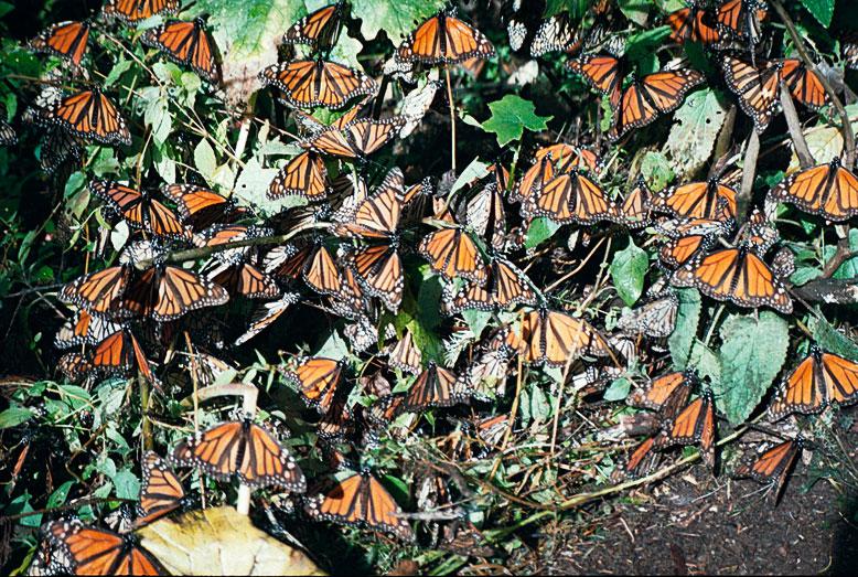 Monarchfalter in Mexico | Bild: Henning Krause/Helmholtz-Gemeinschaft, CC-BY-ND 3.0