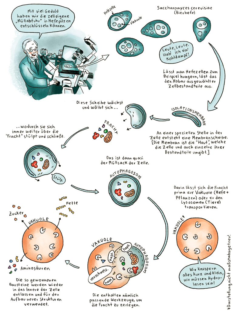 Helmholtz Wissenschaftscomic Zellbiologie Molekularbiologie Autophagozytose Autophagie Yoshinori Ohsumi Nobelpreis Medizin
