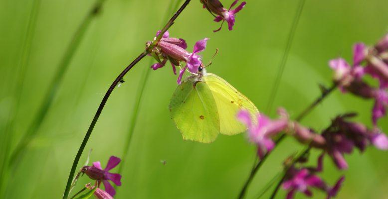 Zitronenfalter (Gonepteryx rhamni), Foto: Elisabeth Rieger