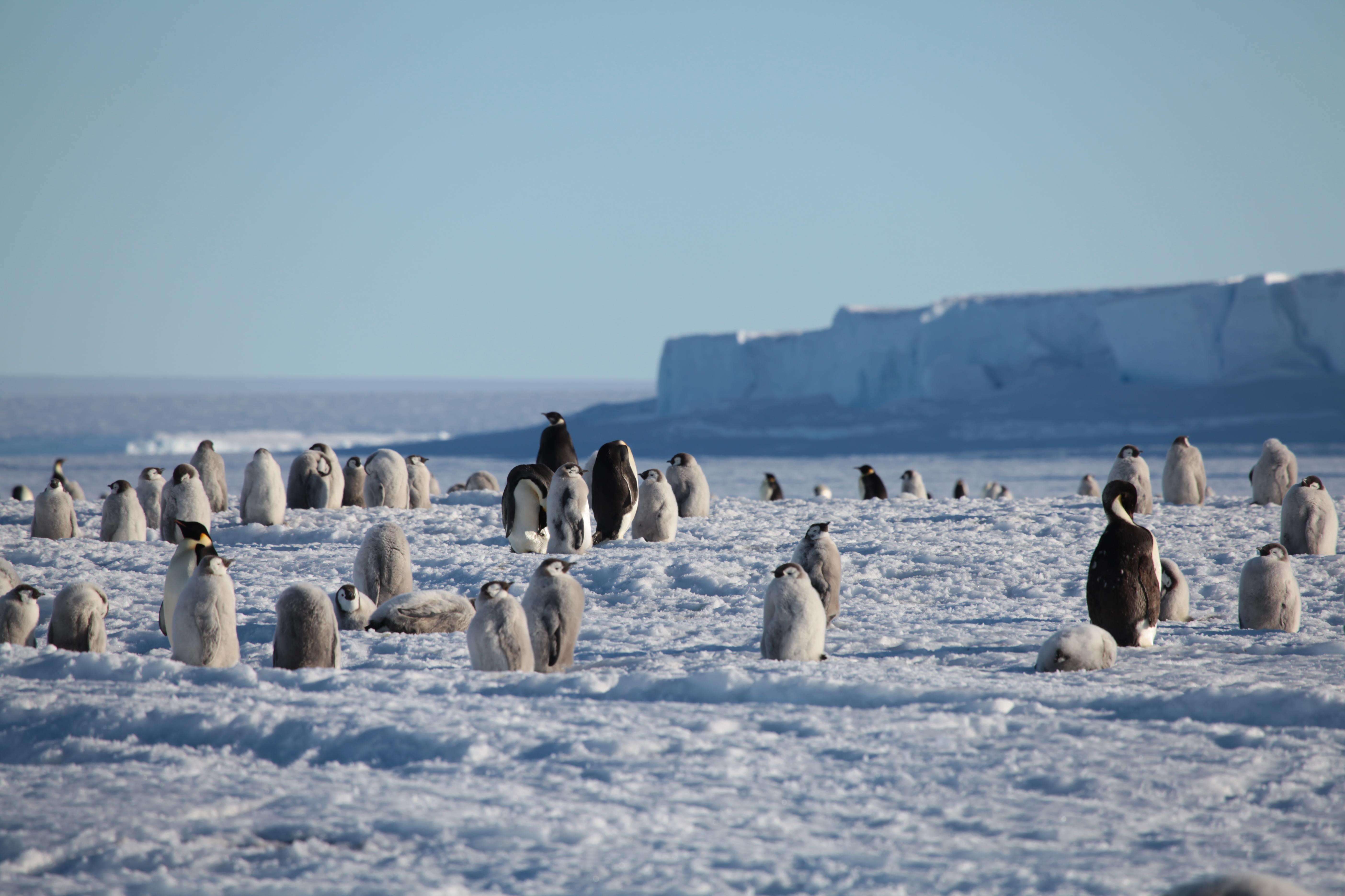 Jung- und Alttiere in der Pinguinkolonie