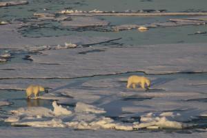 Curious polar bears and fascinated people. Photo: Polarstern bridge
