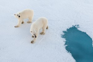 Female polar bear and her cub investigating our strange ship. Photo: Mario Hoppmann