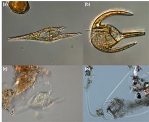 Verschiedene Ceratium Spezies entlang unserer Reiseroute: (a) Ceratium furca, (b) Ceratium azoricum, (c) Ceratium teres, (d) Ceratium cf. Carriense (Fotos Alexandra Kraberg).