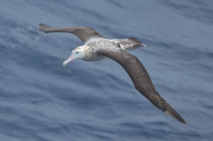 Albert, the young wandering albatros, during one of his exploration flights. Foto: Ralph Timmermann.