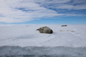 Adult Weddell seals (Leptonychotes weddellii) at a crack in the sea ice in the Atka Bay. Photo: Dominik