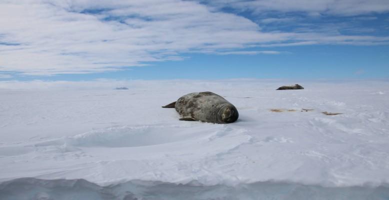 Adult Weddell seals (Leptonychotes weddellii) at a crack in the sea ice in the Atka Bay. Photo: Dominik Nachtsheim