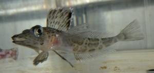 Foto 3: Ein Eisfisch namens Pagetopsis. Diese Art besitzt kein Hämoglobin und hat daher durchsichtiges Blut. Foto: Emilio Riginella