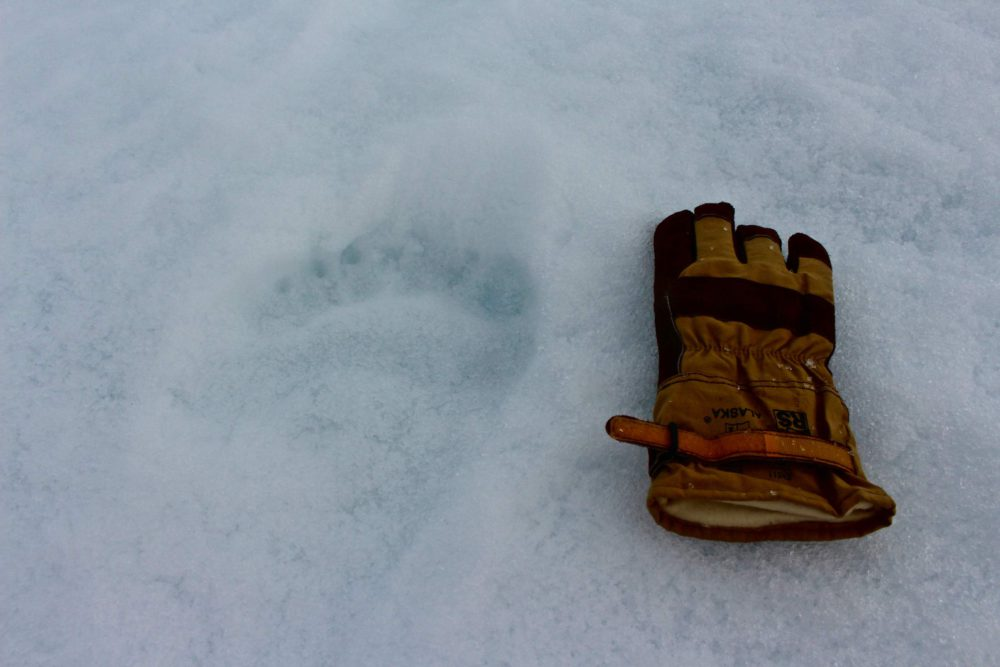 From left to right: Polar bear footprint and Daniel's glove. Photo: Daniel Scholz