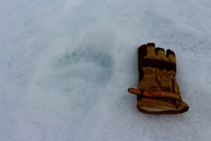 Größenvergleich: Links der Tatzenabdruck des Eisbären, rechts Daniels Handschuh. Foto: Daniel Scholz