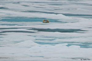 Eisbaerenjungen. Foto: Natalie Prinz