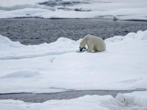 I'm sooo tired....: A yawning polar bear. Photo: Rita Melo Franco Santos