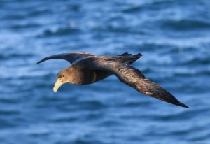 Sturmvogel (Giant Petrel). Foto: Dominik Bahlburg