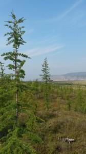 Die ersten Bäume nach zwei Wochen auf Samoylov: Lärchen auf Tit-Ari. Foto: K. Kohnert.