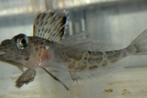 Photo 3: An Antarctic icefish called Pagetopsis. This species lacks haemoglobin and therefore has transparent blood. Photo: Emilio Riginella