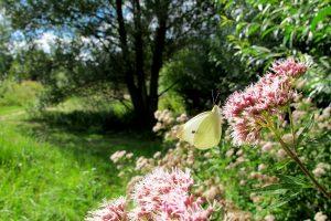 Falter des Monats Mai – Der Kleine Kohl-Weißling (Pieris rapae)